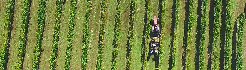 Vendimia en los viñedos del Pazo de Rubianes.
