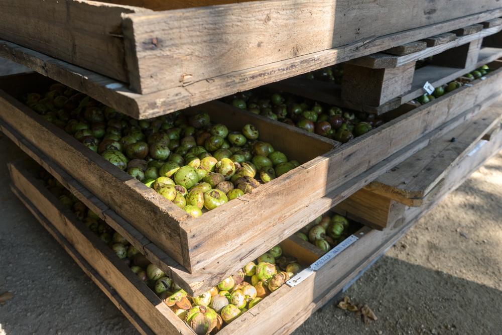 A finales de agosto se inicia el proceso de recolección de la fruta de nuestras camelias, cápsulas que albergan las semillas de las que se extrae el famoso Aceite de Camelia.