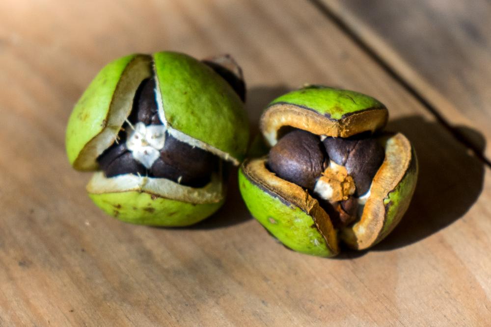 Imagen de detalle de la fruta de la camelia, cápsulas de distinto tamaño y textura, y que albergan las semillas.